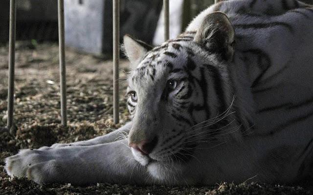 EE.UU.: California se convertirá en el tercer estado en prohibir los circos con animales