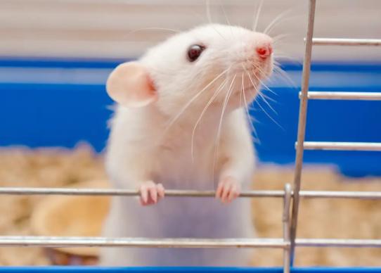 Estados Unidos prodría prohibir finalmente la experimentación cosmética en animales a nivel nacional
