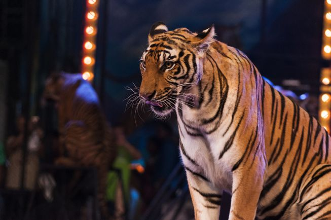 París pondrá fin a los circos con animales para 2022