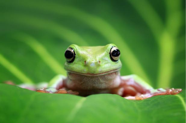 Una escuela de EE.UU. es la primera en el mundo en utilizar ranas sintéticas para disección
