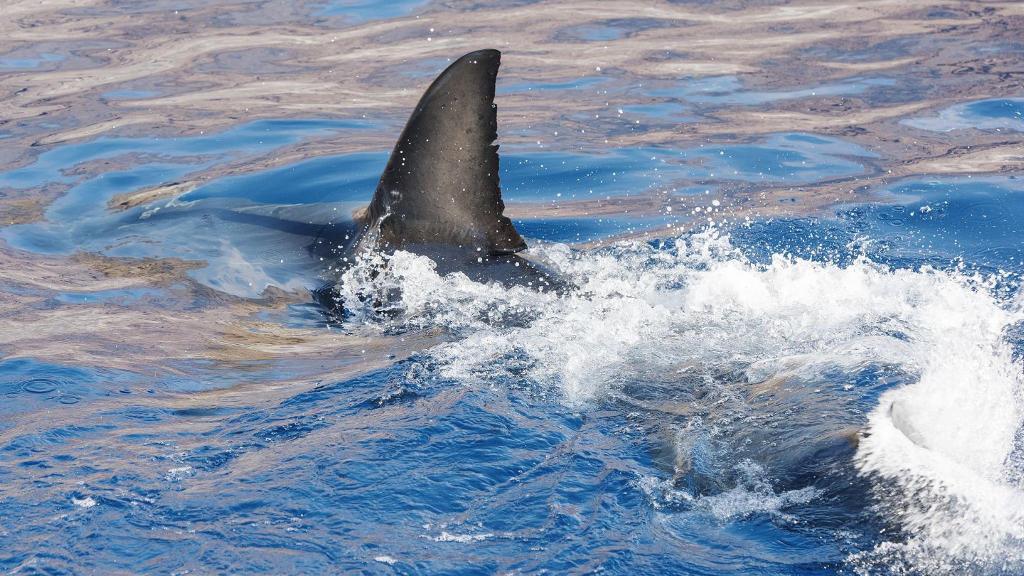 El gobierno aprueba la eliminación a la venta de aletas de tiburón