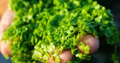 Científicos descubren vitamina B12 vegana en las lentejas de agua