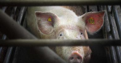 El coronavirus podría forzar el cierre masivo de mataderos en EE.UU.