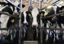 ¡Lo último!: El coronavirus podría destruir la industria láctea de China
