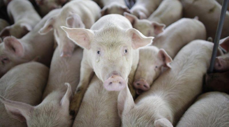 reino unido prohibe granjas industriales covid19