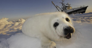 dos paises cazaran focas en medio del coronavirus