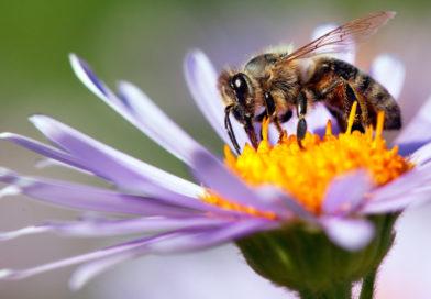 El confinamiento le da a las abejas una oportunidad de recuperarse de los humanos