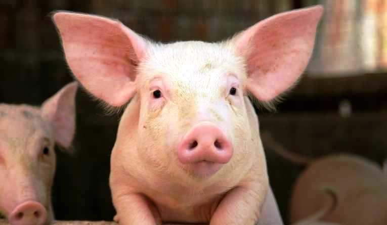 cerdos coronavirus