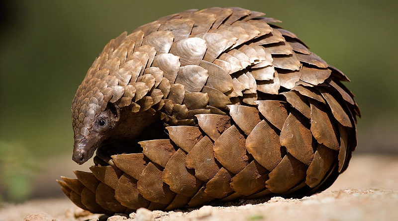 pangolin china