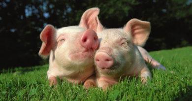 Más de 1 millón de animales fueron salvados en un mes cuando la gente abandonó los productos animales de sus platos, según Veganuary
