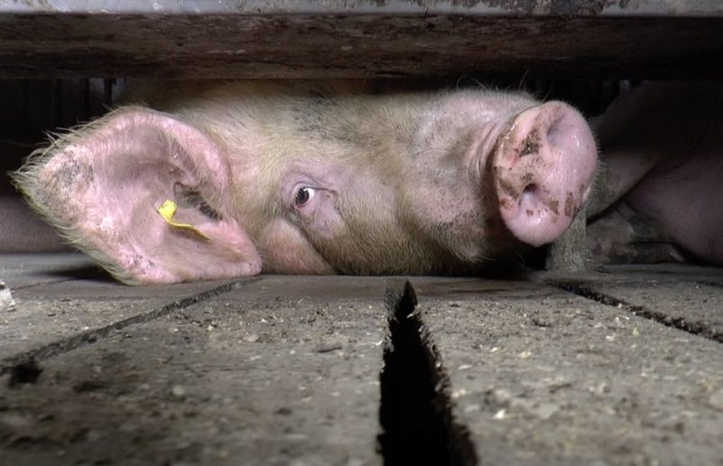 "Documental vegano ""Hogwood"" gana un premio en el festival de cine documental británico"