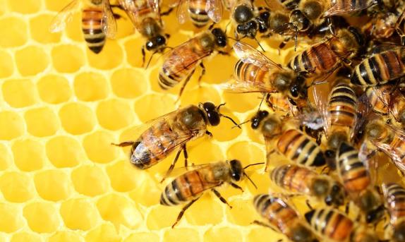 por que los veganos no comen miel de abeja